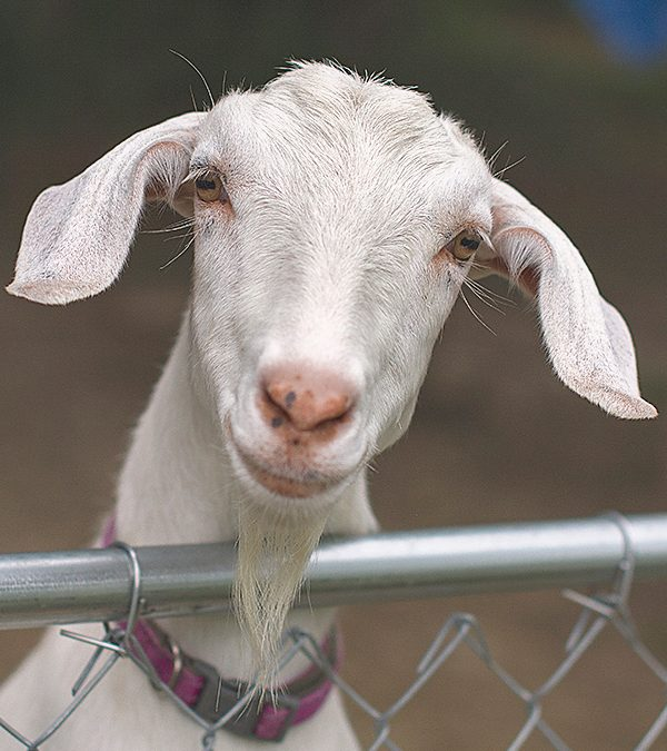 How hard are goats to raise?11 min read