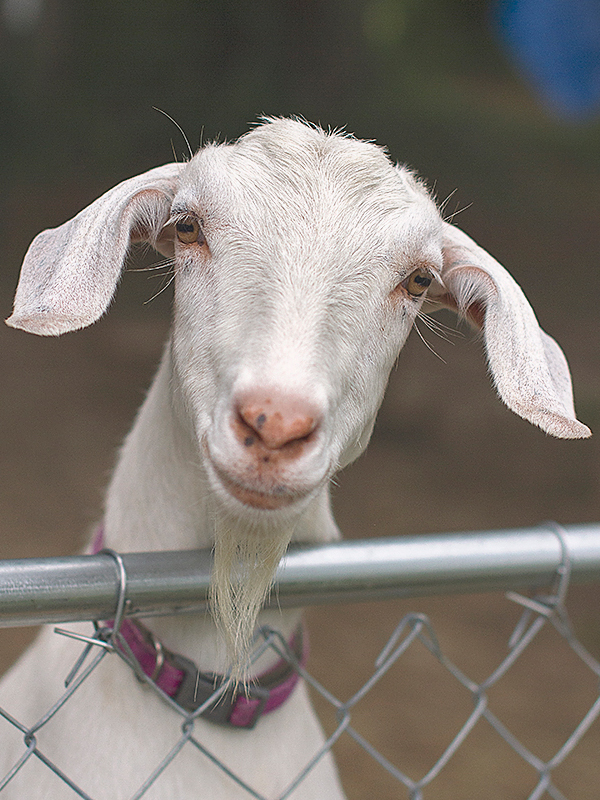 How hard are goats to raise?